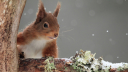 A red squirrel in the snow. (Photo: Fotolia)