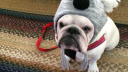 10 British Bulldogs That Will Boost Your Mood