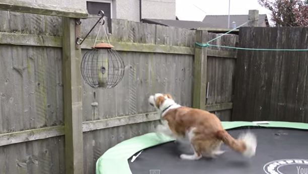 WATCH: Scottish Man Surprised by Dog's Acrobatic Garden Escape