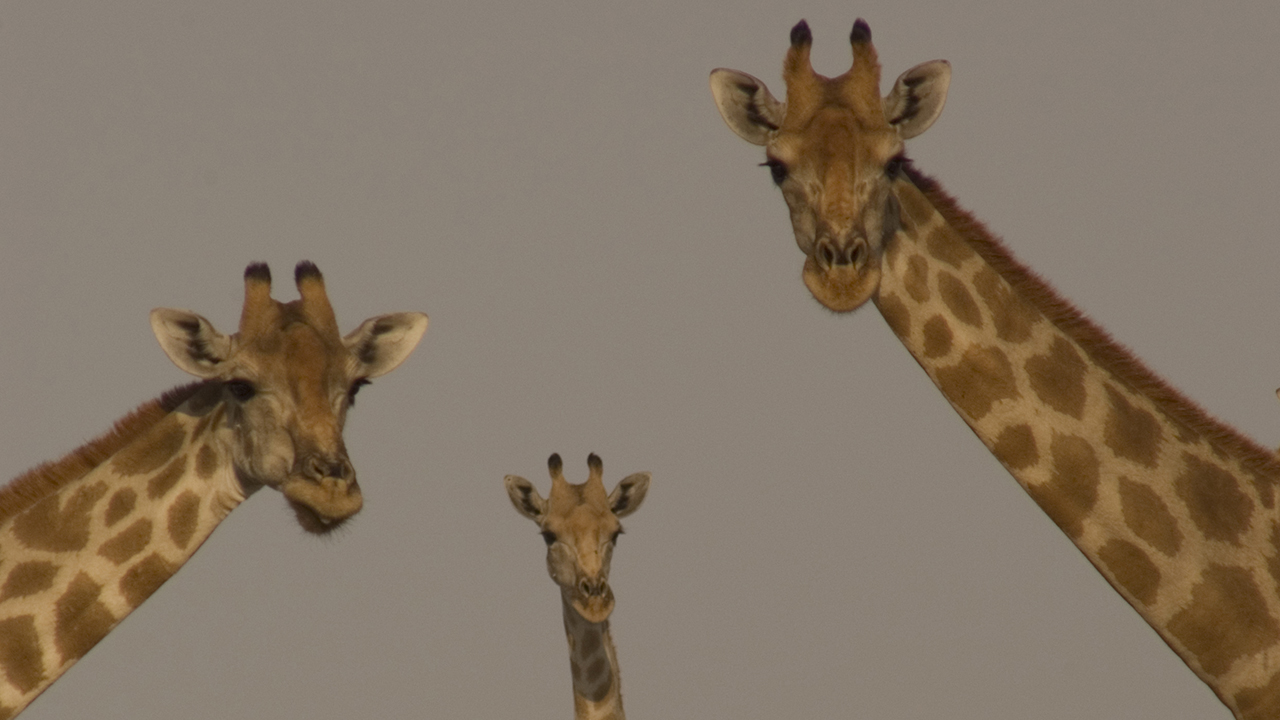 WATCH: Giraffe Fight!