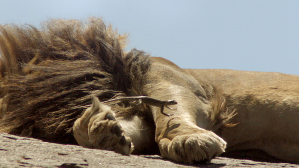 Don't Wake the Lions