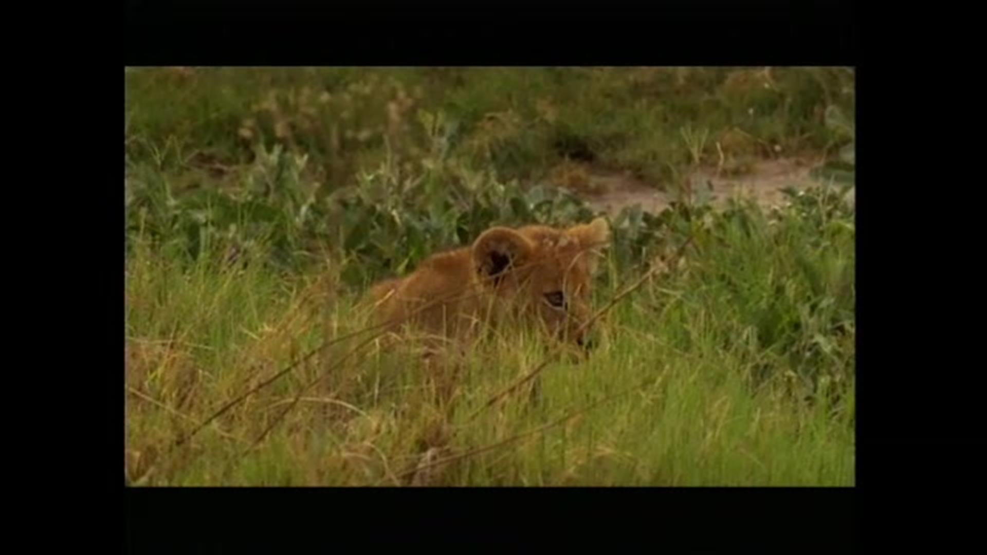Clip Jeremy Irons Voices The Documentary The Last Lions Bbc