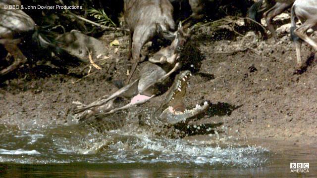 The nile crocodile attacks a wildebeast at the Mara River in Kenya.