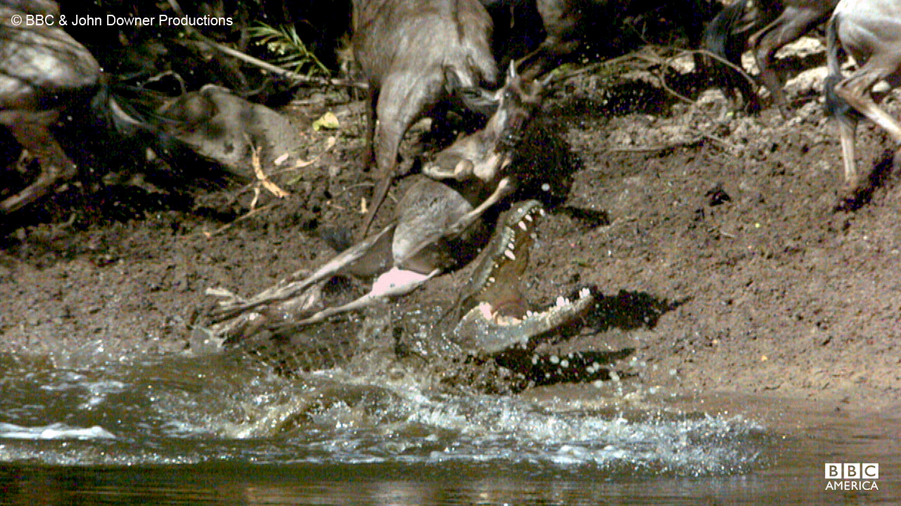 The nile crocodile attacks a wildebeast at the Mara River in Kenya.