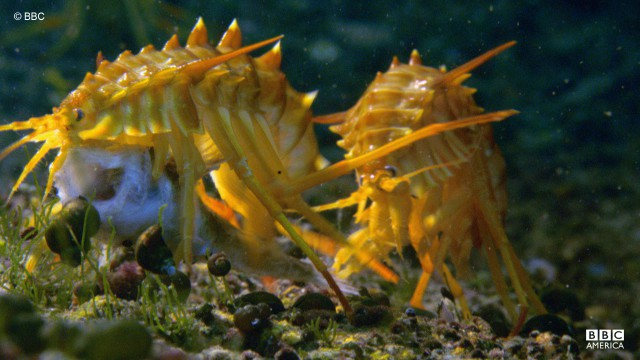 Freshwater shrimps are spotted underwater in Lake Baikal, Siberia.