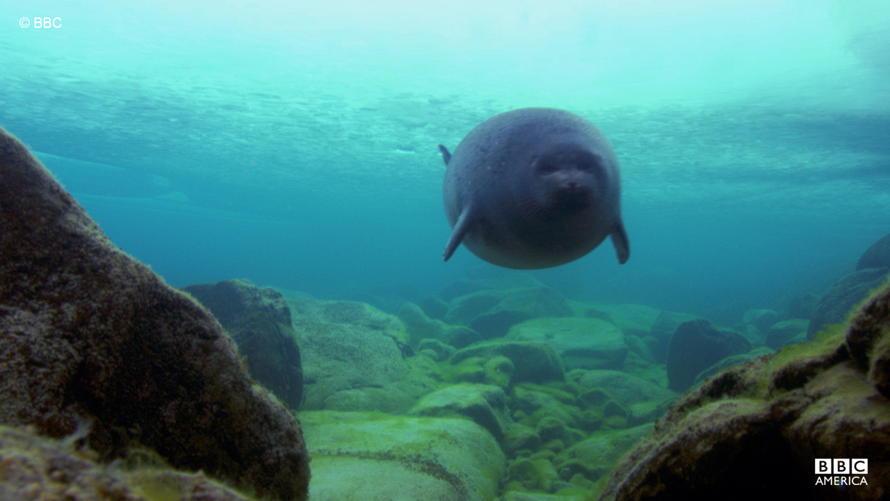 The baikal seal, the only freshwater species of seal, swims in Lake Baikal, SIberia.