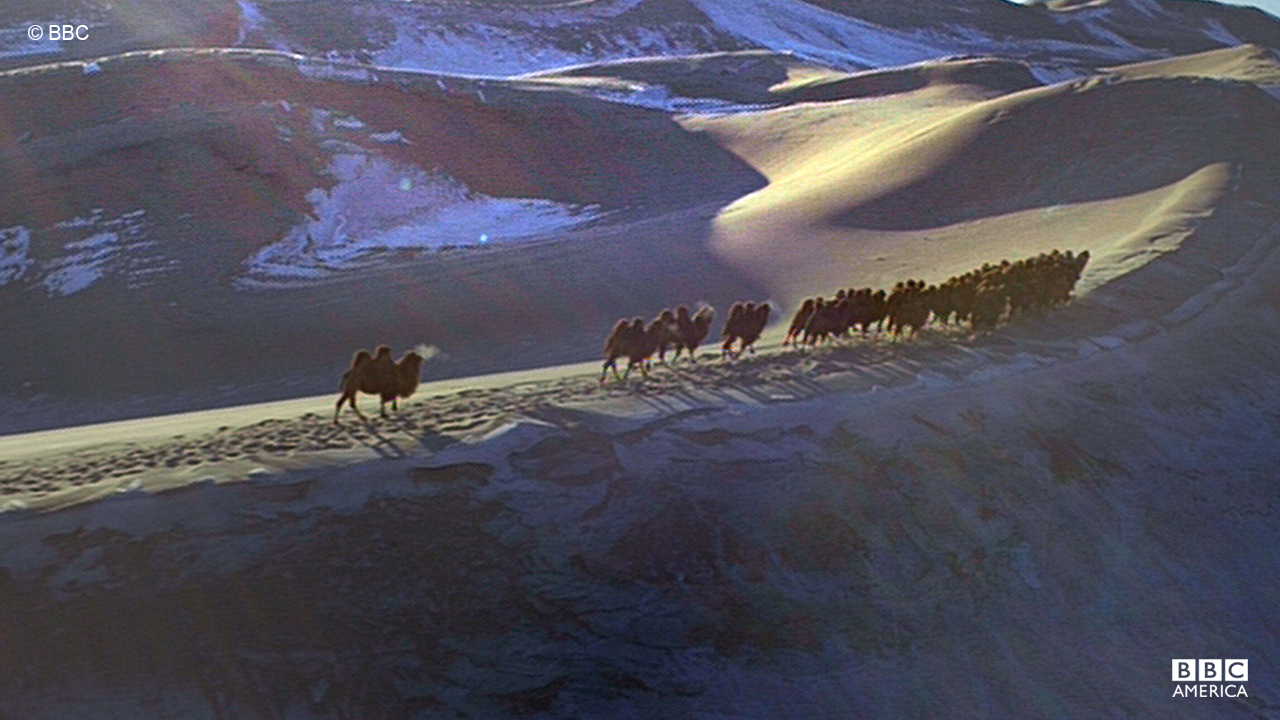 A groupd of wild bactrian camels make their way through the Gobi Desert.