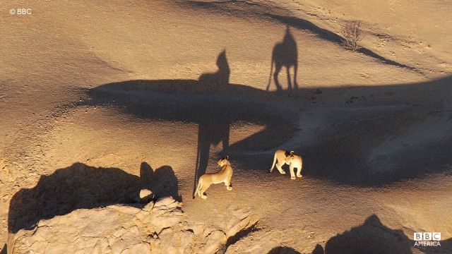 A pack of lions are spotted on the desert dunes in Namibia.