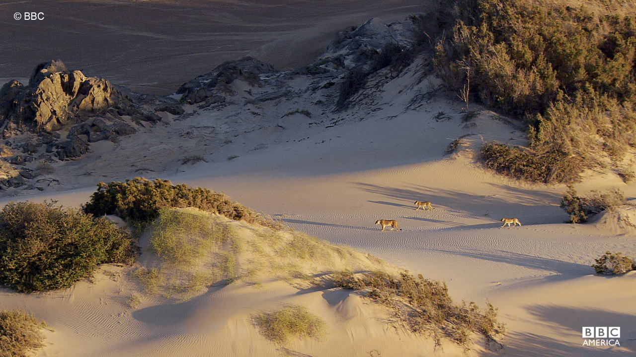 Lions trek though the Namibian desert dunes.