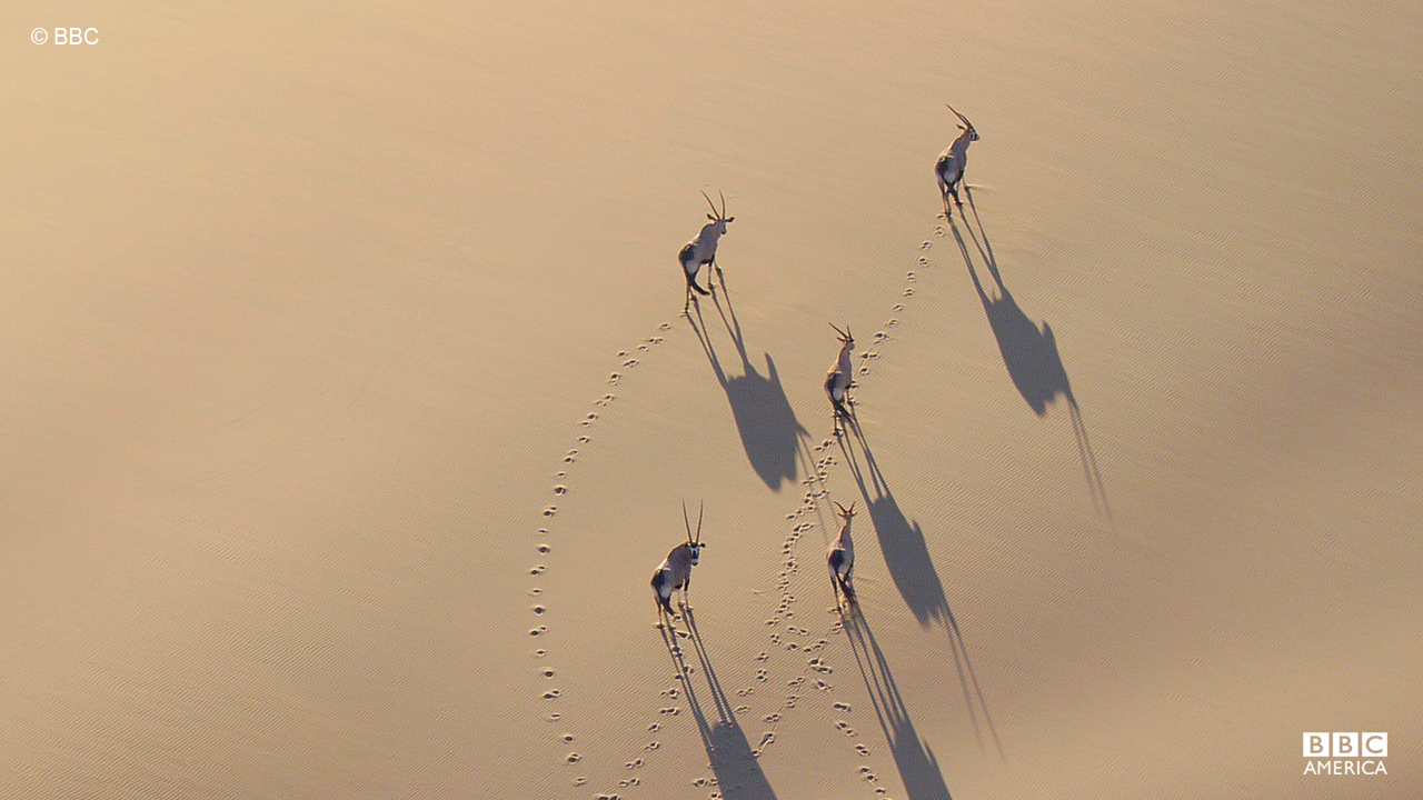 A group of oryx, one of four large antelope species, travel through the desert in Namibia.