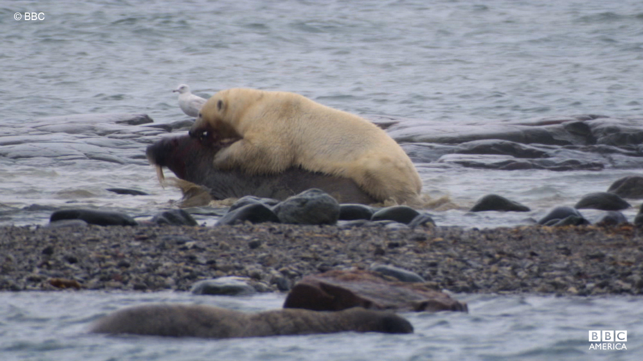 A polar bear attacks a walrus in Svalbard.