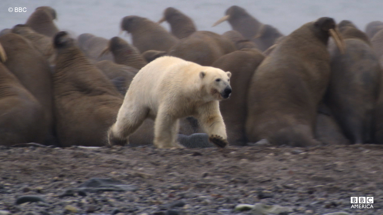 The polar bear, or 'maritime bear,' spends most of its time at sea.