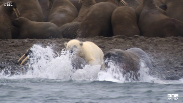 A polar bear attacks a walrus in Svalbard. When they can't hunt seal, a polar bear lives off its own fat reserves.