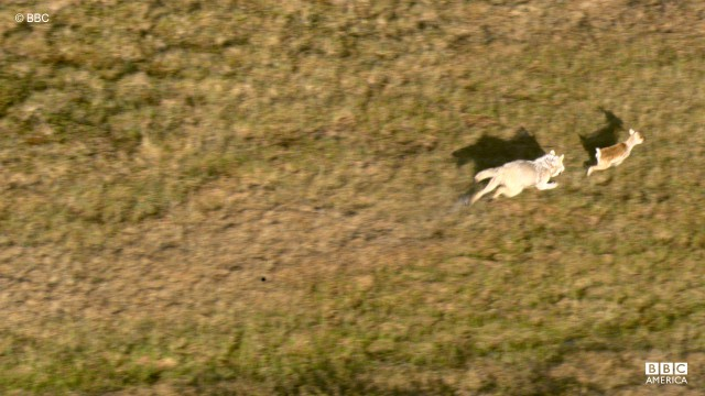 A lone gray wolf chases caribou through North America.