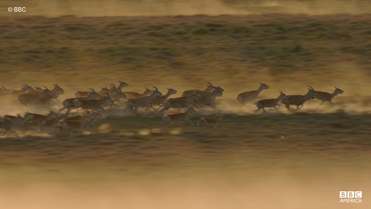 The distance of the Mongolian gazelle migration tends to vary based on weather and food availability.