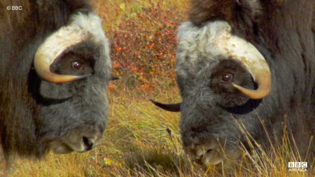Two male musk ox go head-to-head as part of a display for dominance.