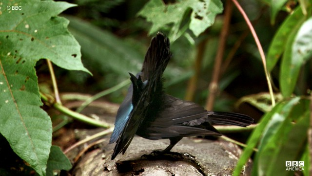 A male superb bird of paradise performs a mating display in Papua New Guinea.