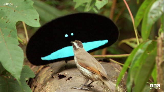 The male bird of paradise puts on an elaborate display for a female in the Papua New Guinea rainforest.