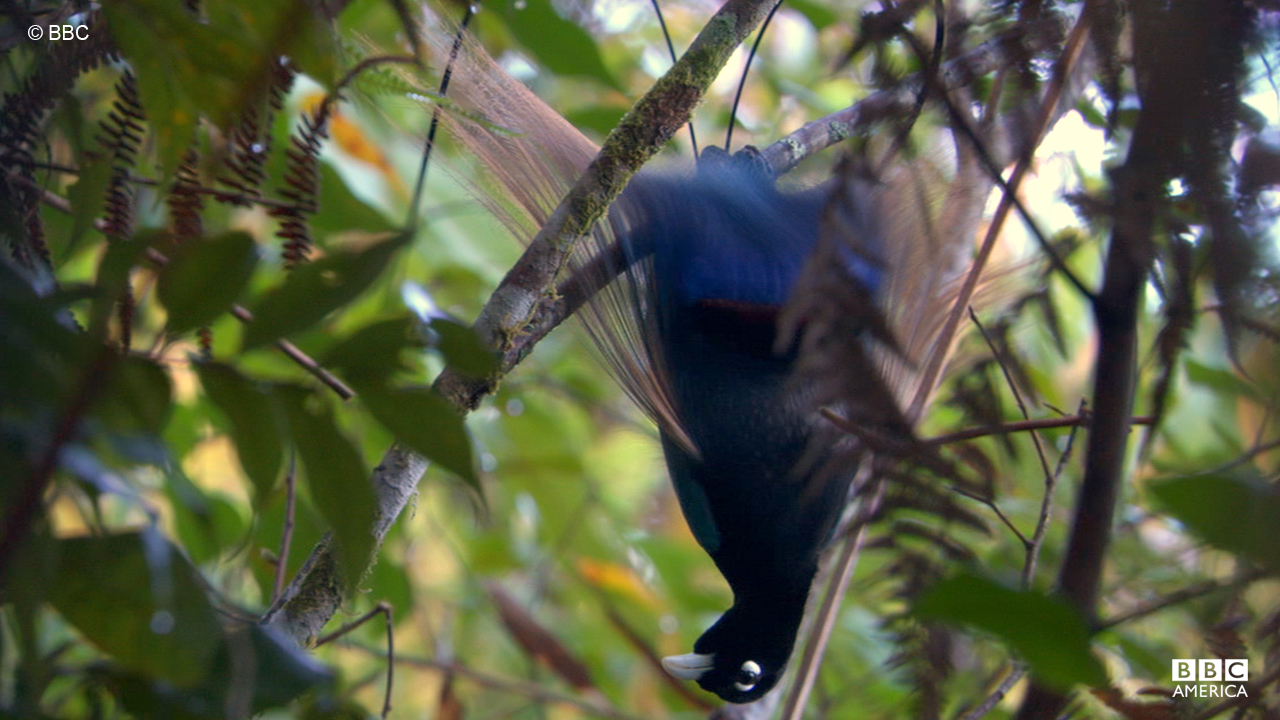 Birds of paradise are generally solitary tree dwellers.