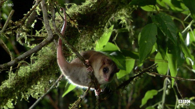 The monito del monte, or little mountain monkey, is spotted in Peru, South America.