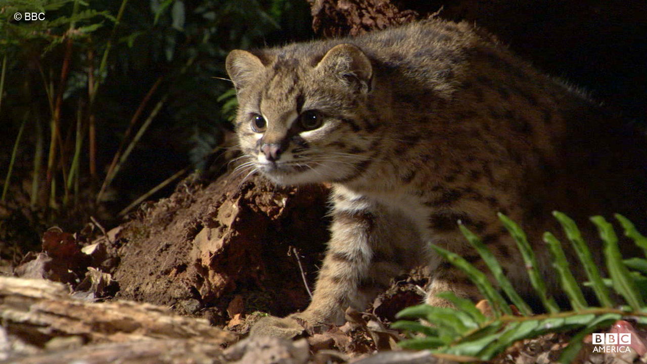 The kodkod, seen in Peru, is the smallest cat in the Americas.