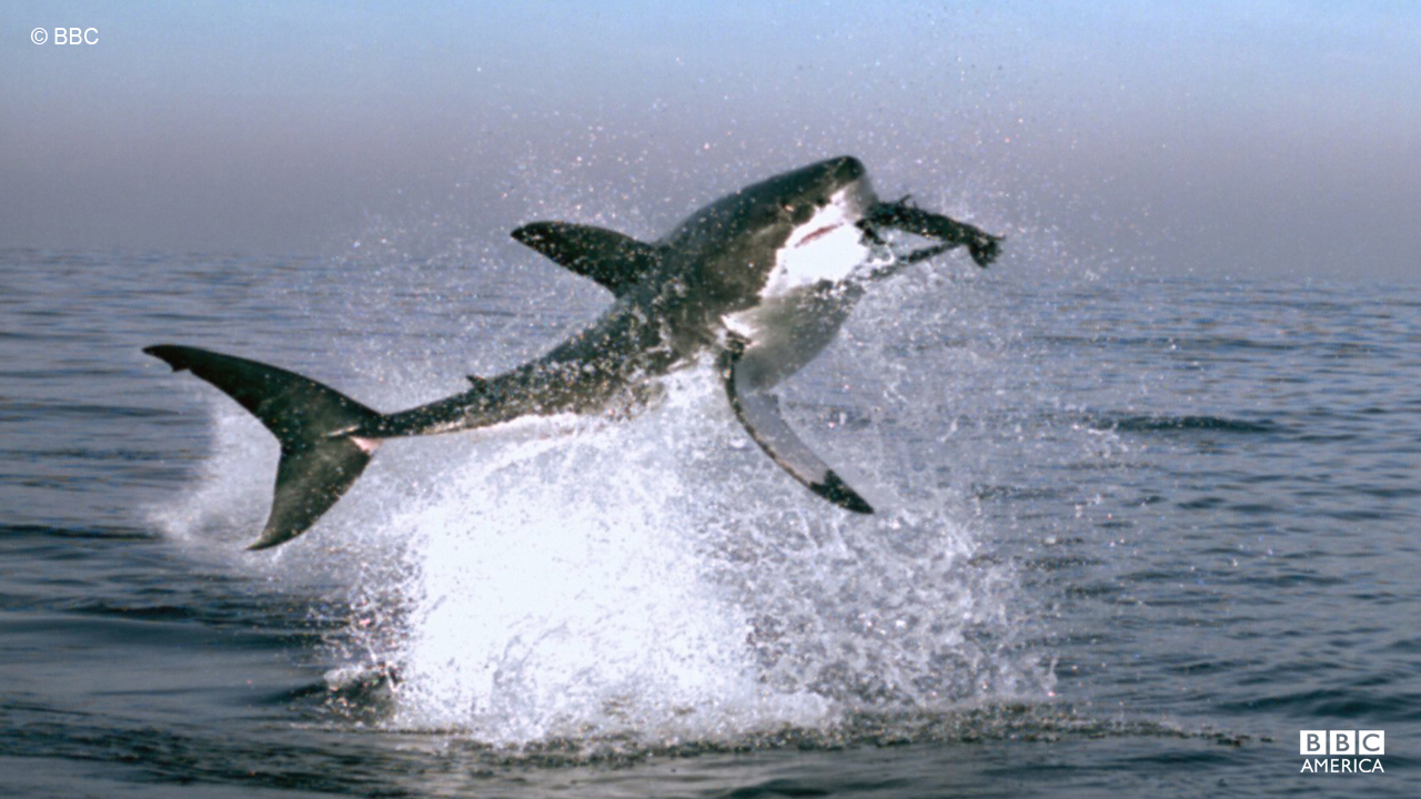 A great white shark leaps to catch a fur seal in Cape Town, South Africa.