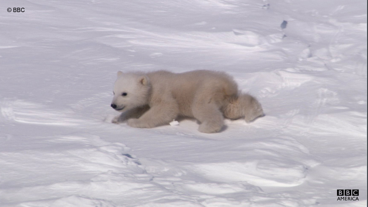 A baby polar bear emerges to explore Svalbard.