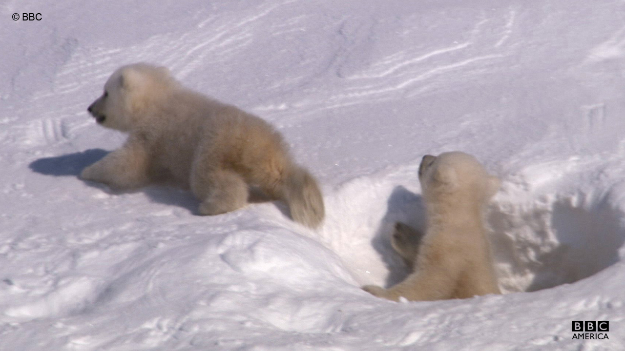 A female polar bear typically has two cubs.