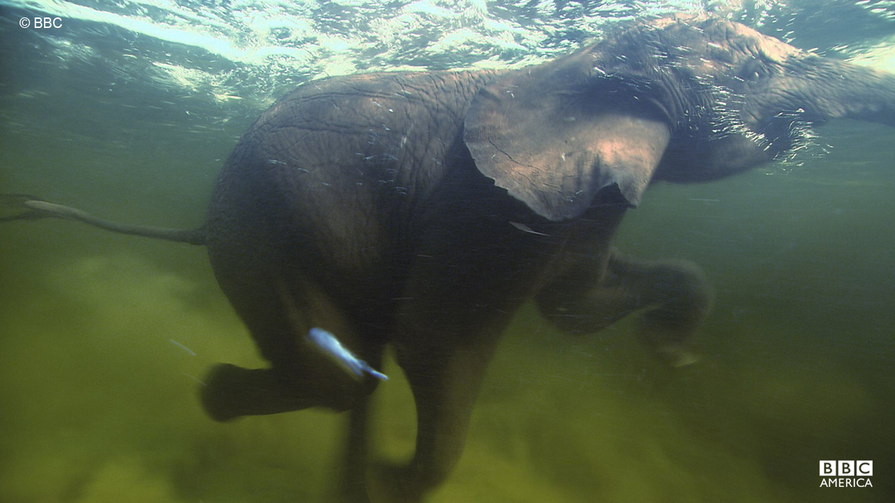 An elephant goes for a swim in the Okavango Delta in Botswana.
