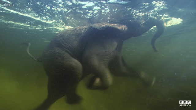 Elephants are expert swimmers, using their body weight as floation and their trunks as snorkels.