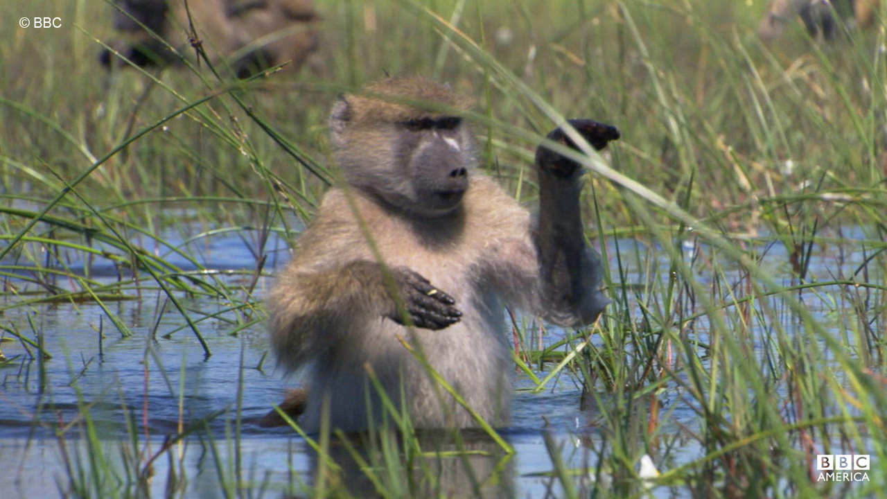 A group of baboons go wading in Botswana.
