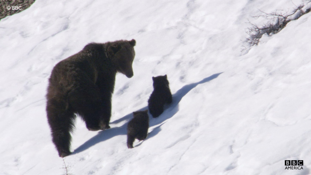 A grizzly bear and her two cubs go in search of moth food.