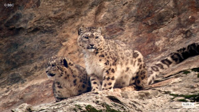 A wild snow leopard rests with her cub.