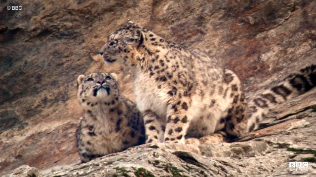 The snow leopard is native to the mountain ranges of Central Asia.