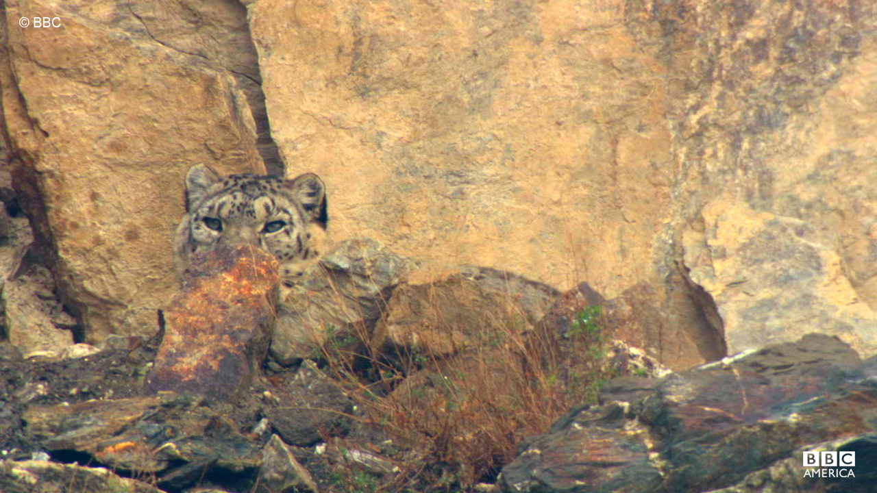 A wild snow leopard hunts in the Himalayas.