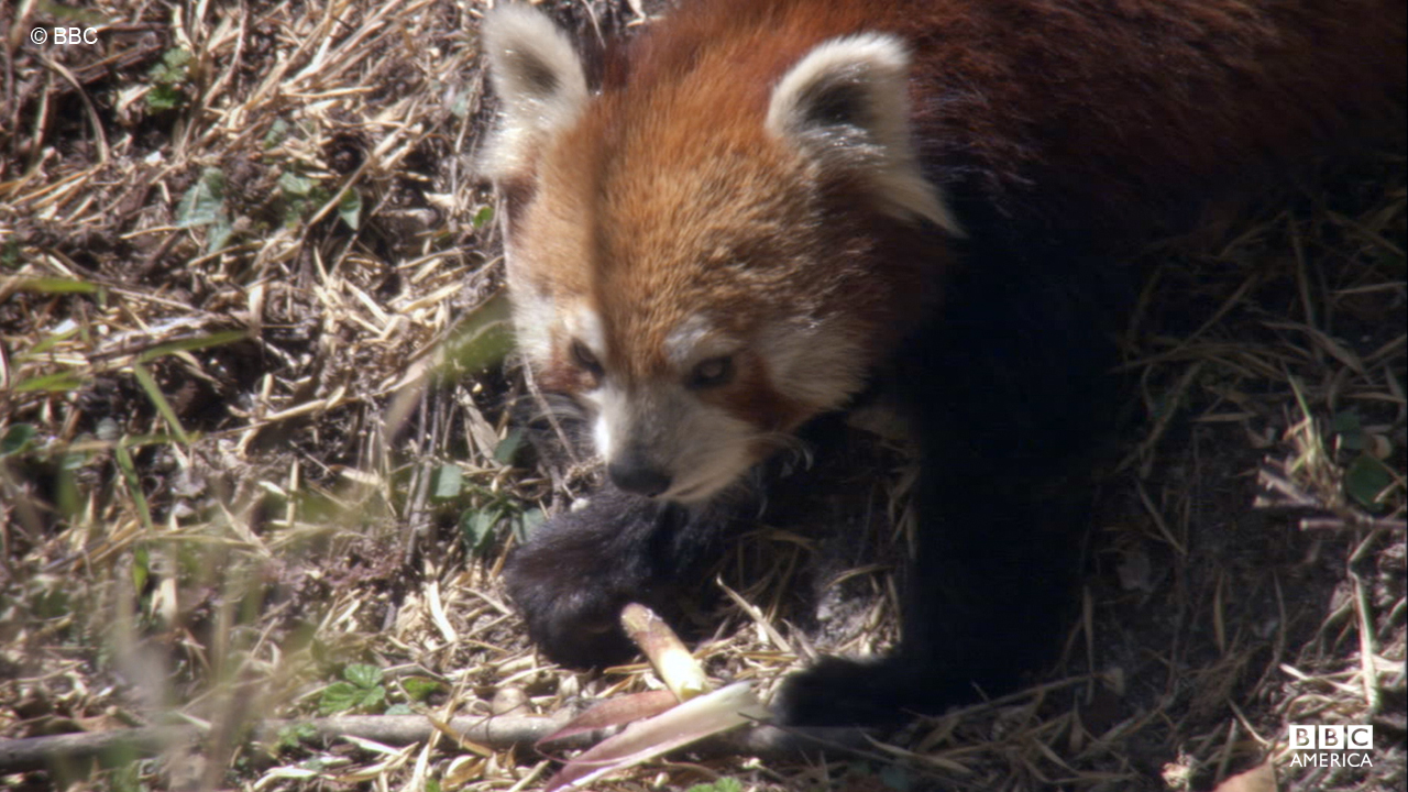 The wild red panda is native to the Himalayas and China.