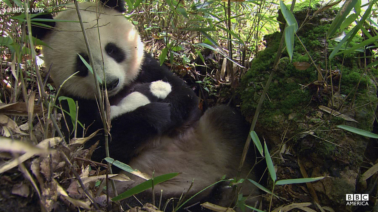 A giant panda rests with its young in its home in China.