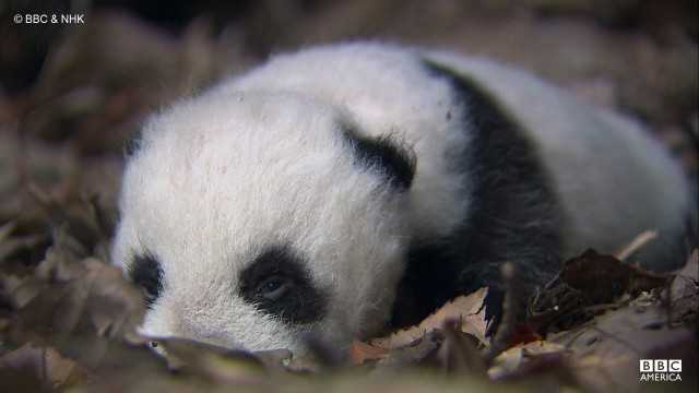 A baby giant panda is easily recognized by distinctive black patches around its eyes, on the ears, and around the body.