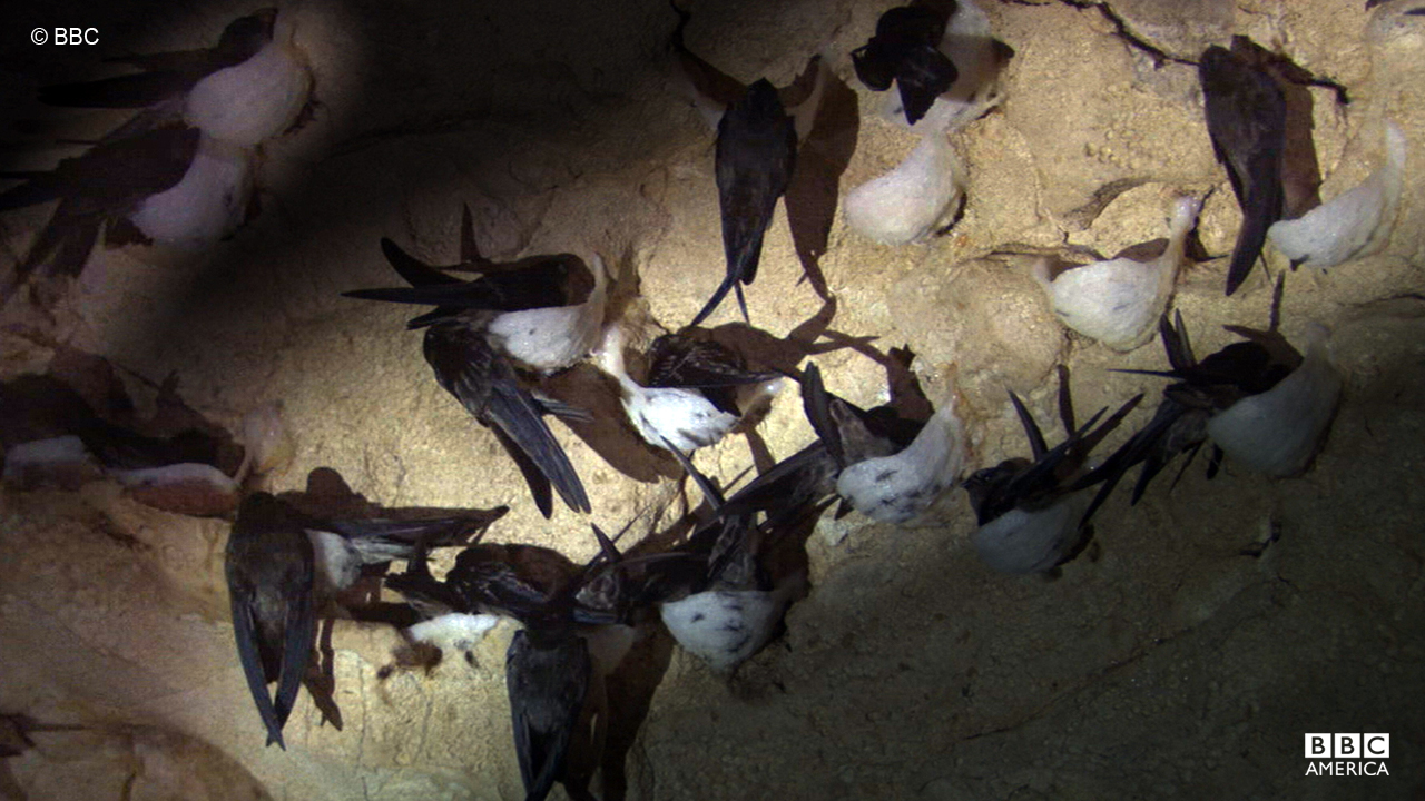 A group of swiftlets spotted nesting in a cave.
