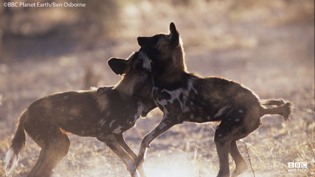 Wild dogs in Okavango Swamp.