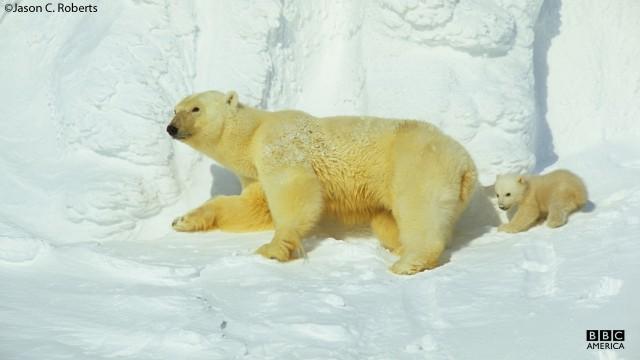A polar bear and cub leave their den.