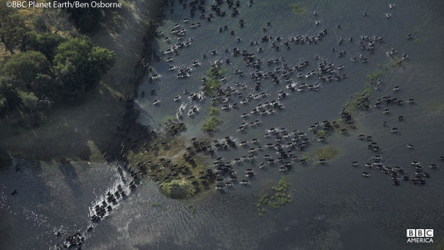 An aerial view of a herd of buffalo.