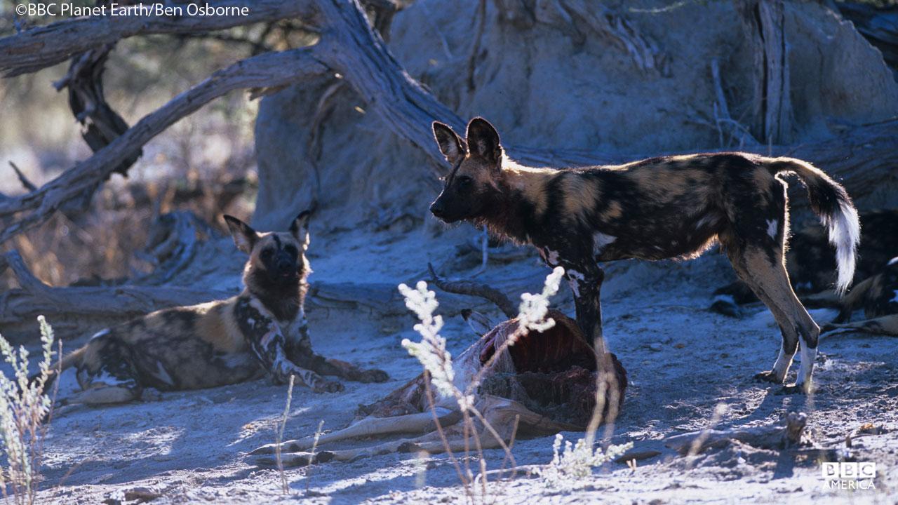 Wild dogs in Okavango Swamp.