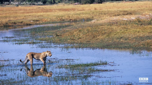 A lion treks in the Okavango Swamp.