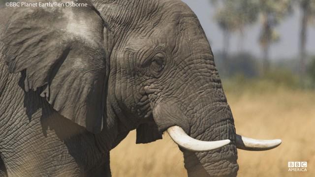 An elephant in the Okavango Swamp of Bostwana.
