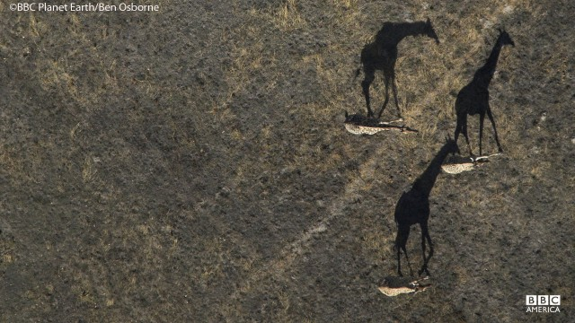 An aerial view of giraffes in Botswana.