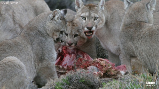 A puma family eats in the Andes mountains.