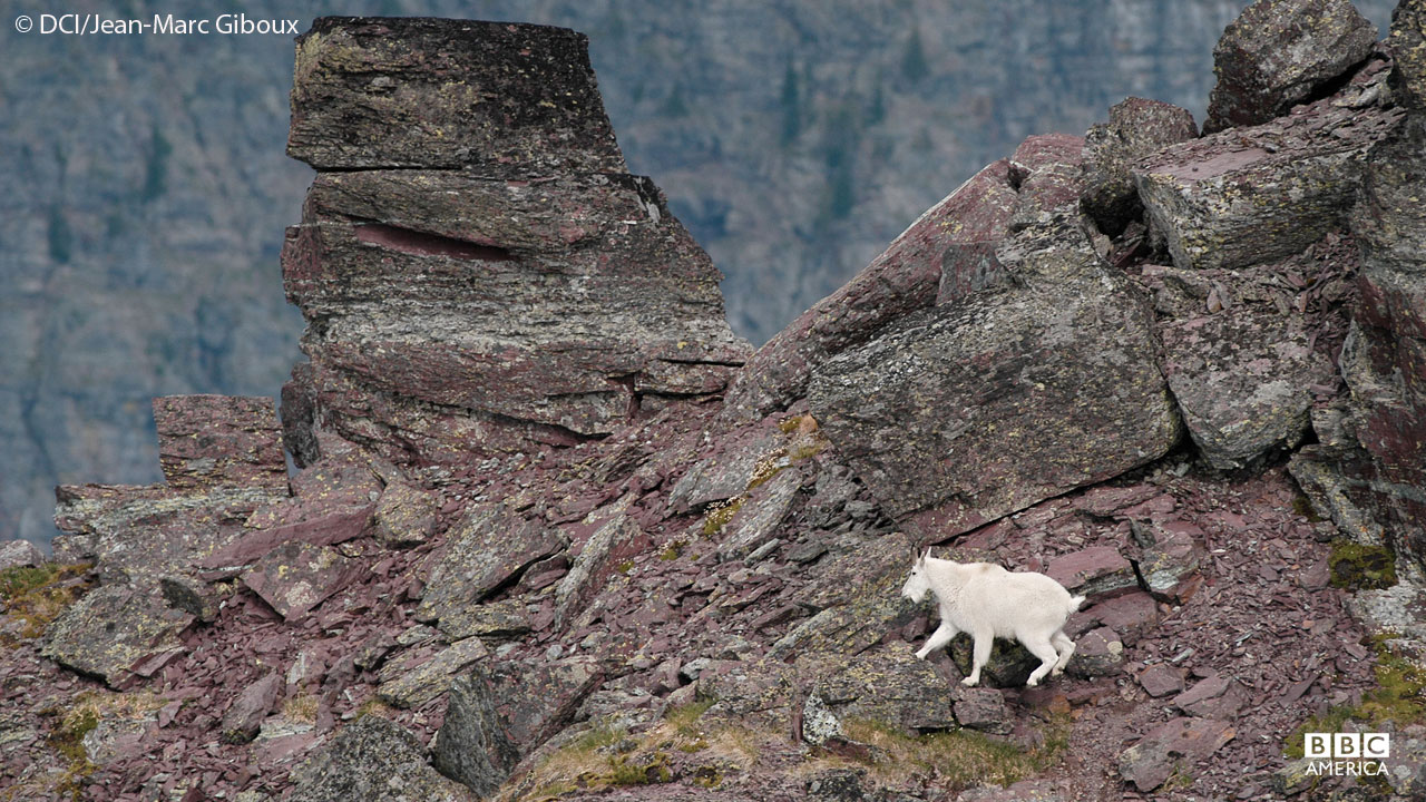 Goats in Glacier National Park, Montana.