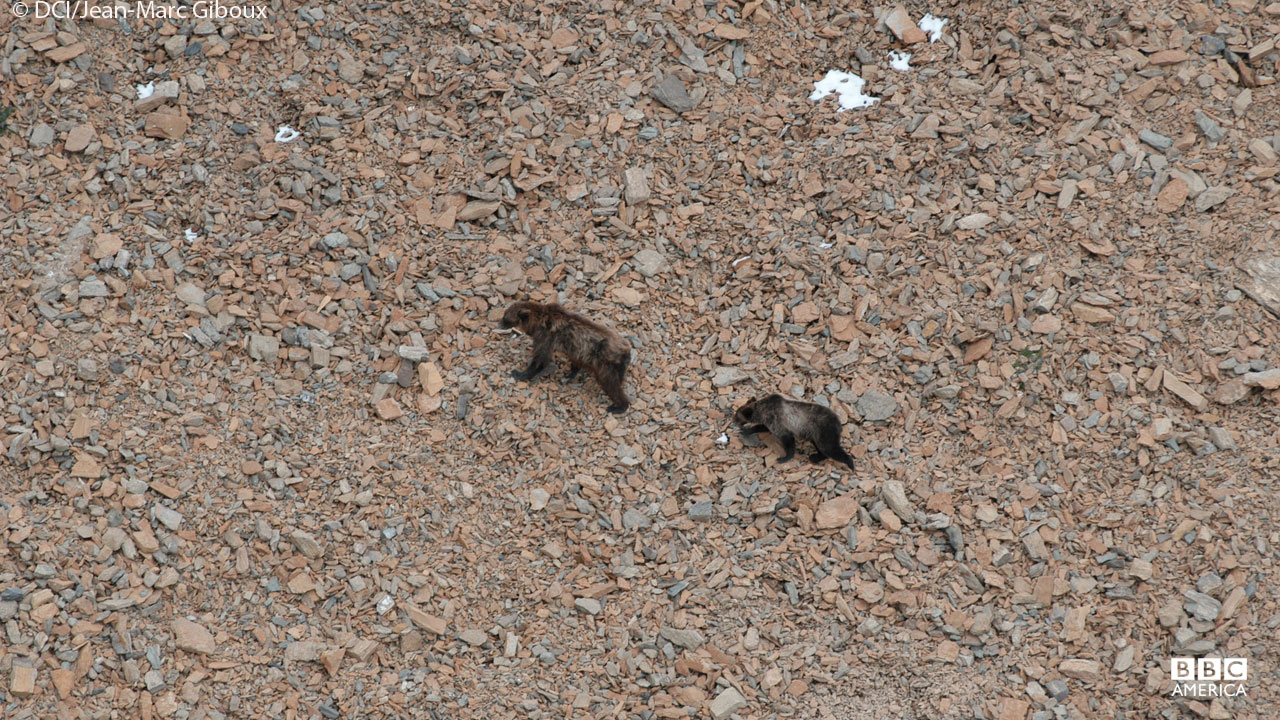 Bears, Glacier National Park, Montana