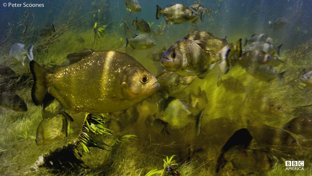 Piranhas swimming in the Pantanal wetlands in Brazil.